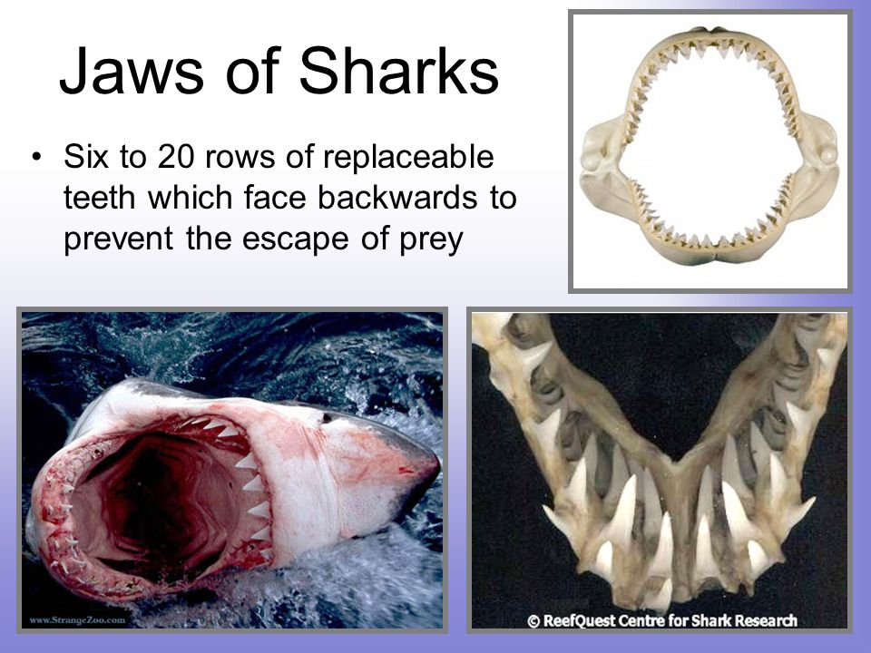 Jaws of Sharks Six to 20 rows of replaceable teeth which face backwards to prevent the escape of prey.