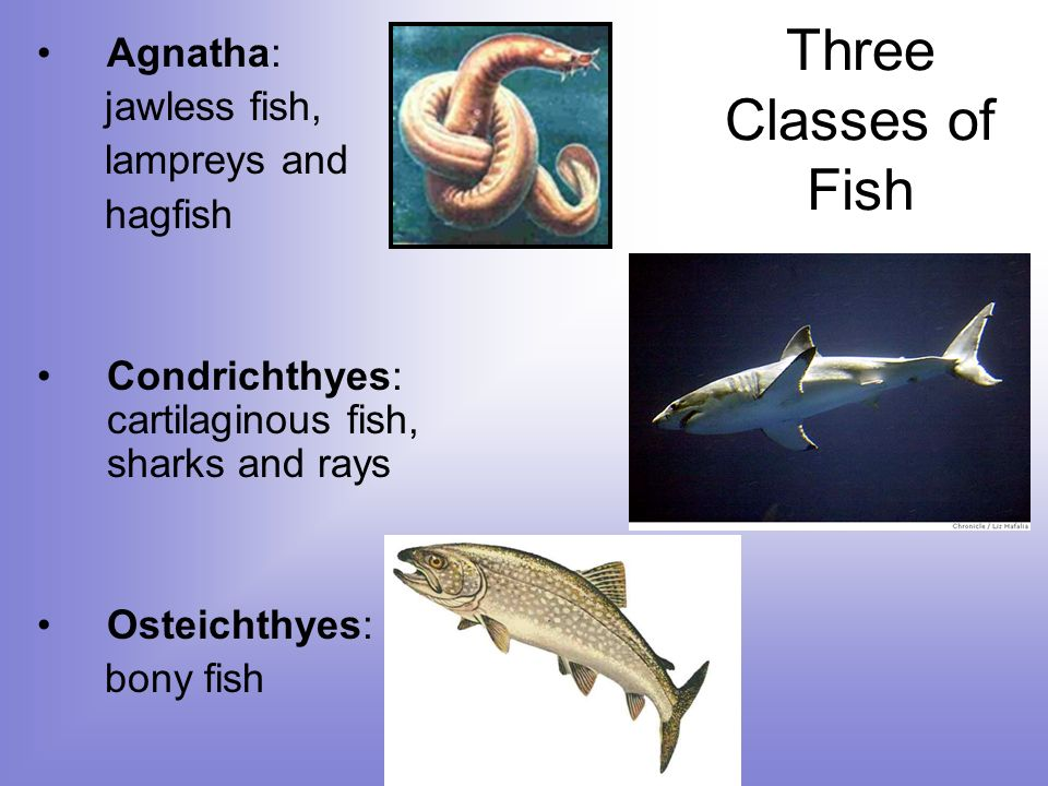 The most diverse and successful vertebrates ppt video for Bony fish characteristics