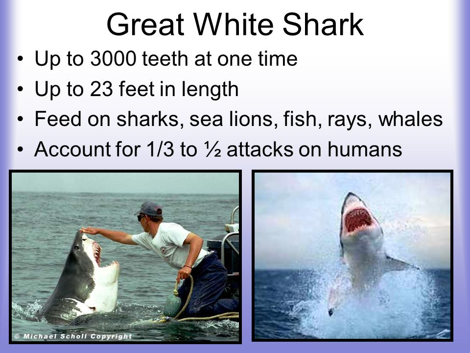 Great White Shark Up to 3000 teeth at one time Up to 23 feet in length