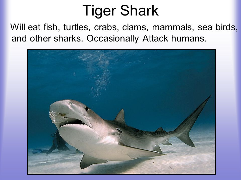 Tiger Shark Will eat fish, turtles, crabs, clams, mammals, sea birds, and other sharks.