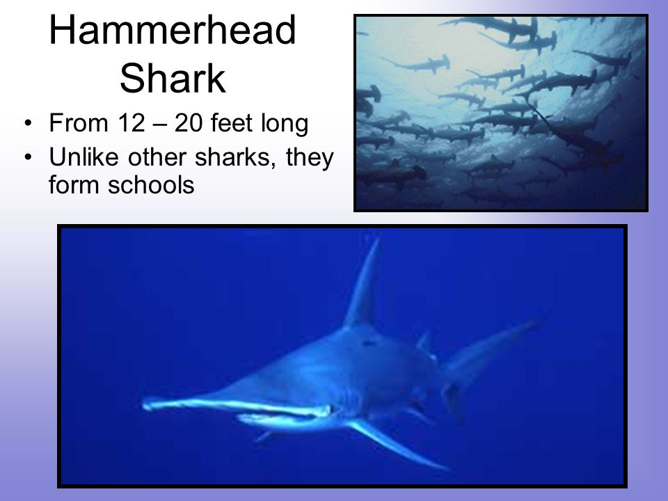 Hammerhead Shark From 12 – 20 feet long