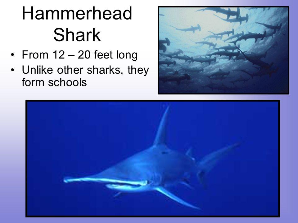 Hammerhead Shark From 12 – 20 feet long