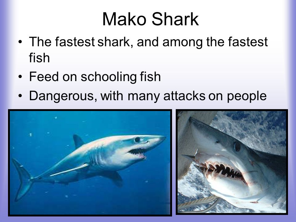 Mako Shark The fastest shark, and among the fastest fish