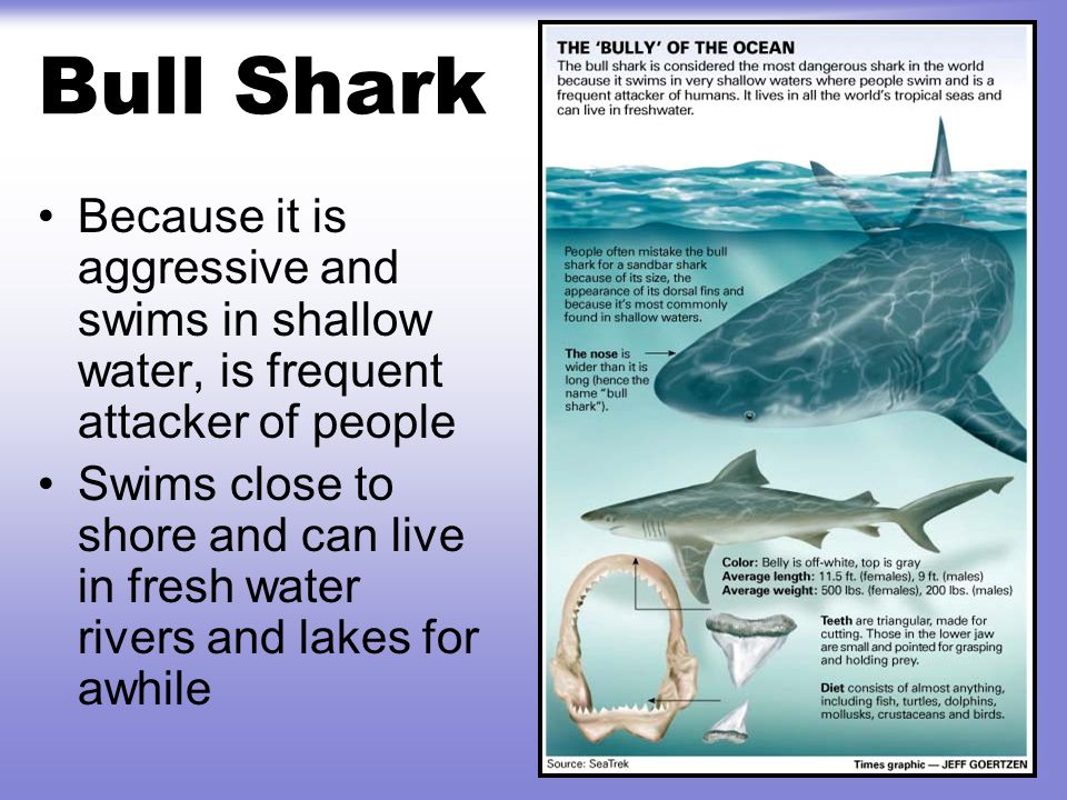 Bull Shark Because it is aggressive and swims in shallow water, is frequent attacker of people.