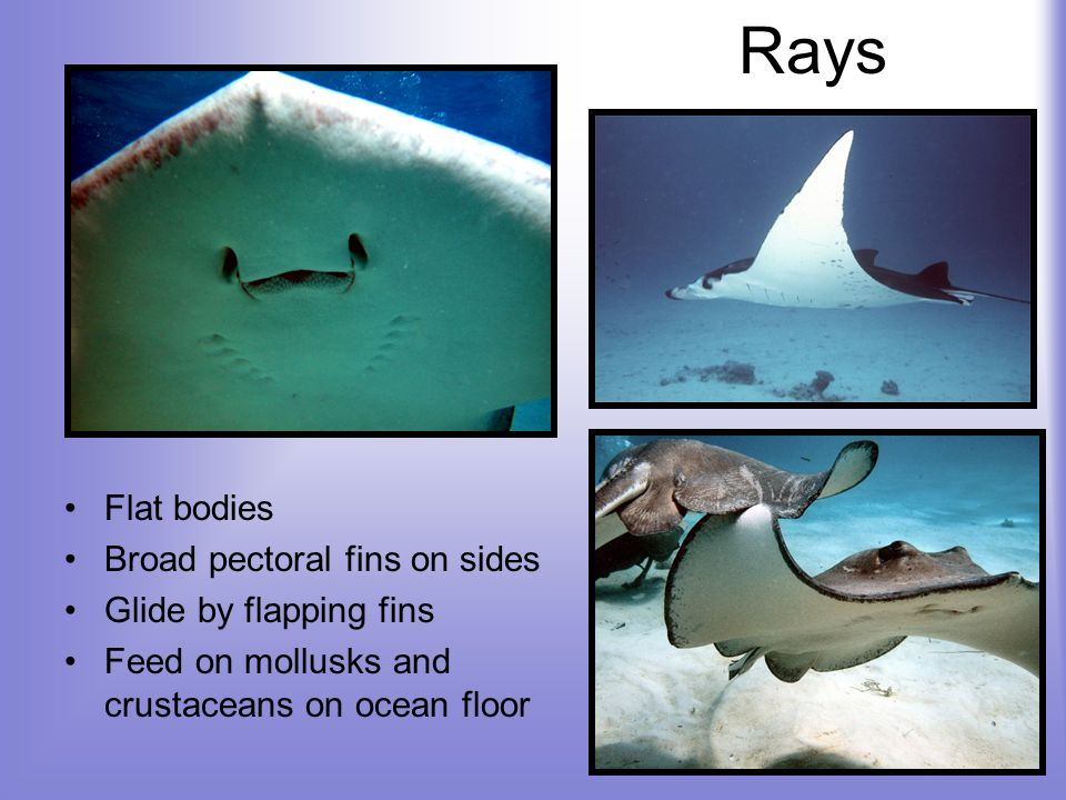 Rays Flat bodies Broad pectoral fins on sides Glide by flapping fins