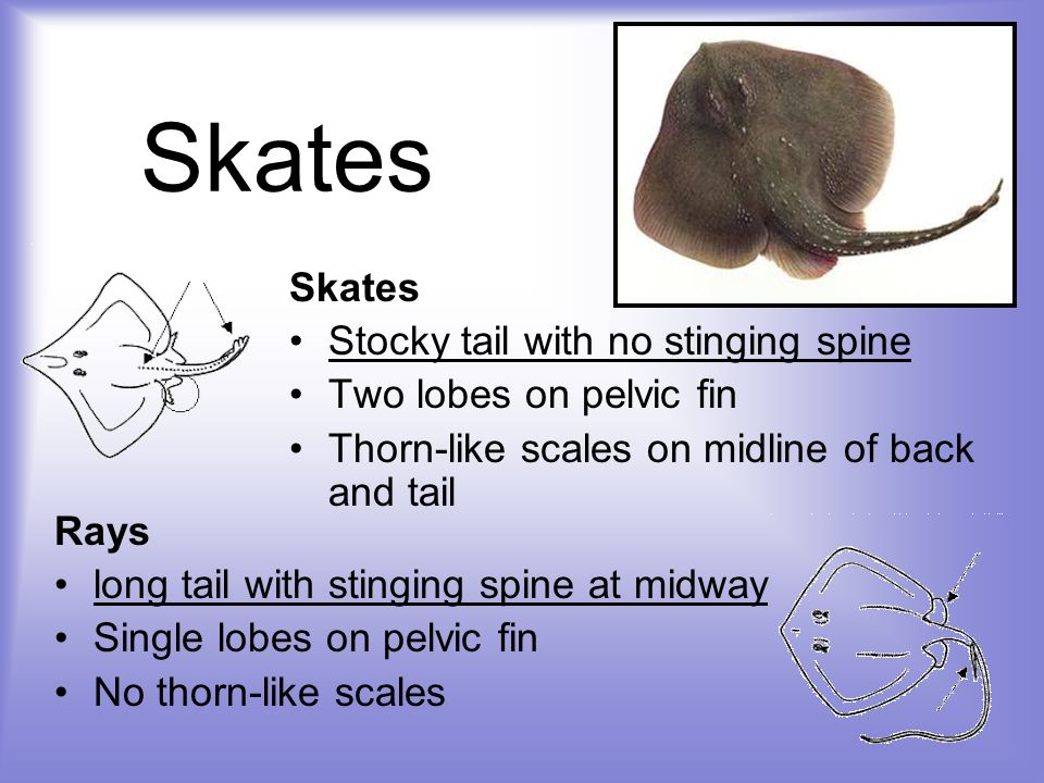 Skates Skates Stocky tail with no stinging spine