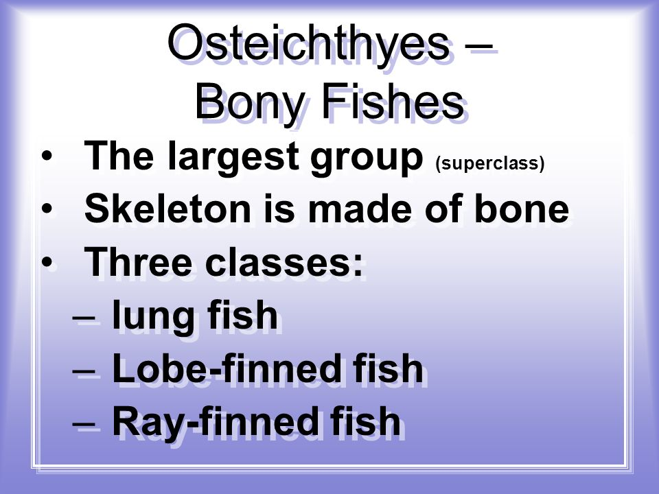 Osteichthyes – Bony Fishes