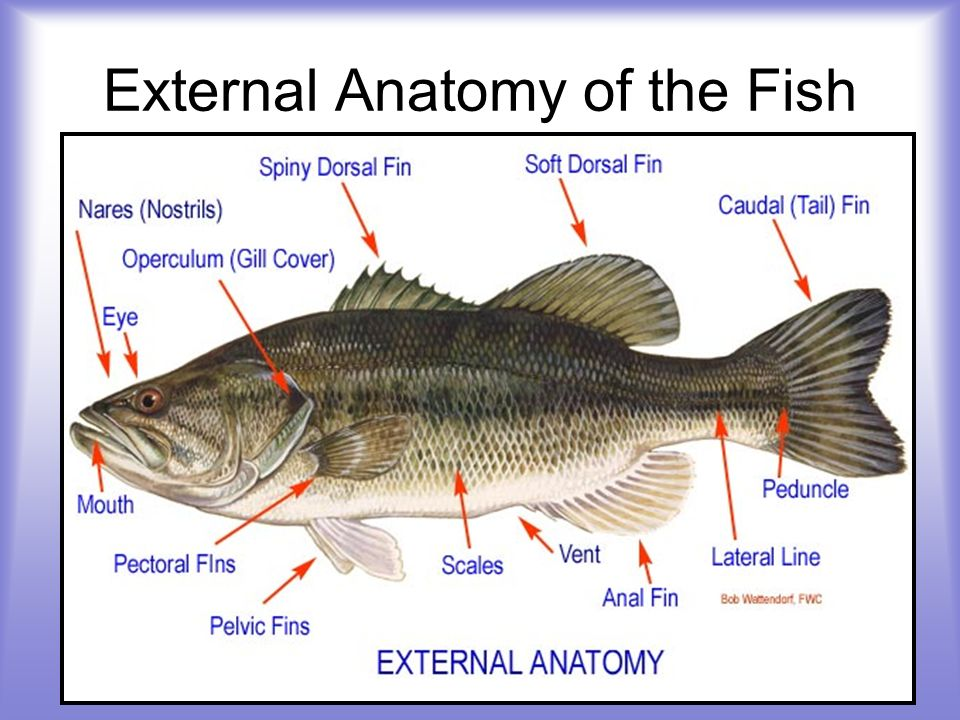 External Anatomy of the Fish