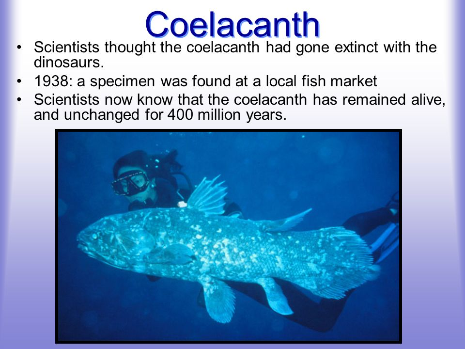Coelacanth Scientists thought the coelacanth had gone extinct with the dinosaurs. 1938: a specimen was found at a local fish market.