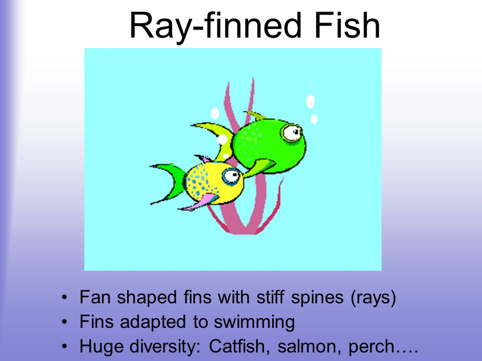 Ray-finned Fish Fan shaped fins with stiff spines (rays)