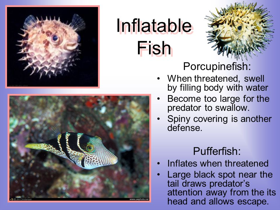 Inflatable Fish Porcupinefish: Pufferfish: