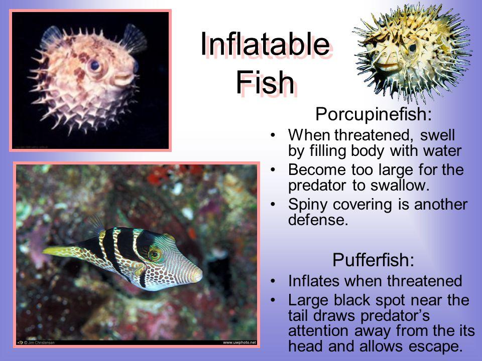 Inflatable Fish Porcupinefish: Pufferfish: