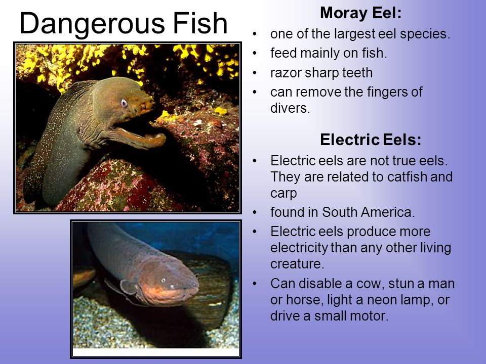 Dangerous Fish Moray Eel: Electric Eels: