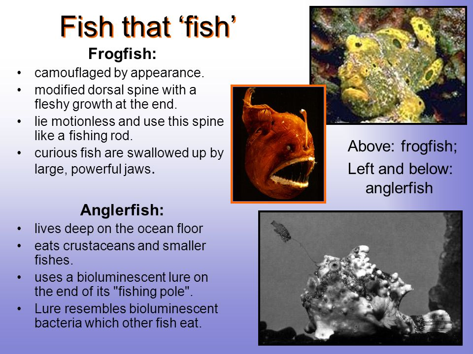 Fish that 'fish' Frogfish: Anglerfish: Above: frogfish;