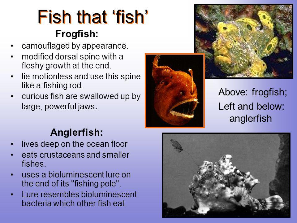 Fish that 'fish' Frogfish: Anglerfish: Above: frogfish;