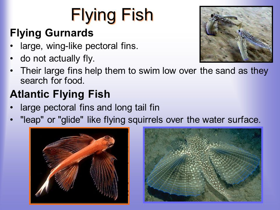 Flying Fish Flying Gurnards Atlantic Flying Fish