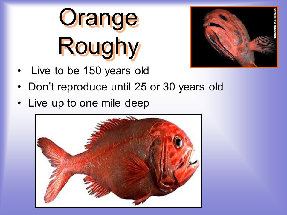 Orange Roughy Live to be 150 years old