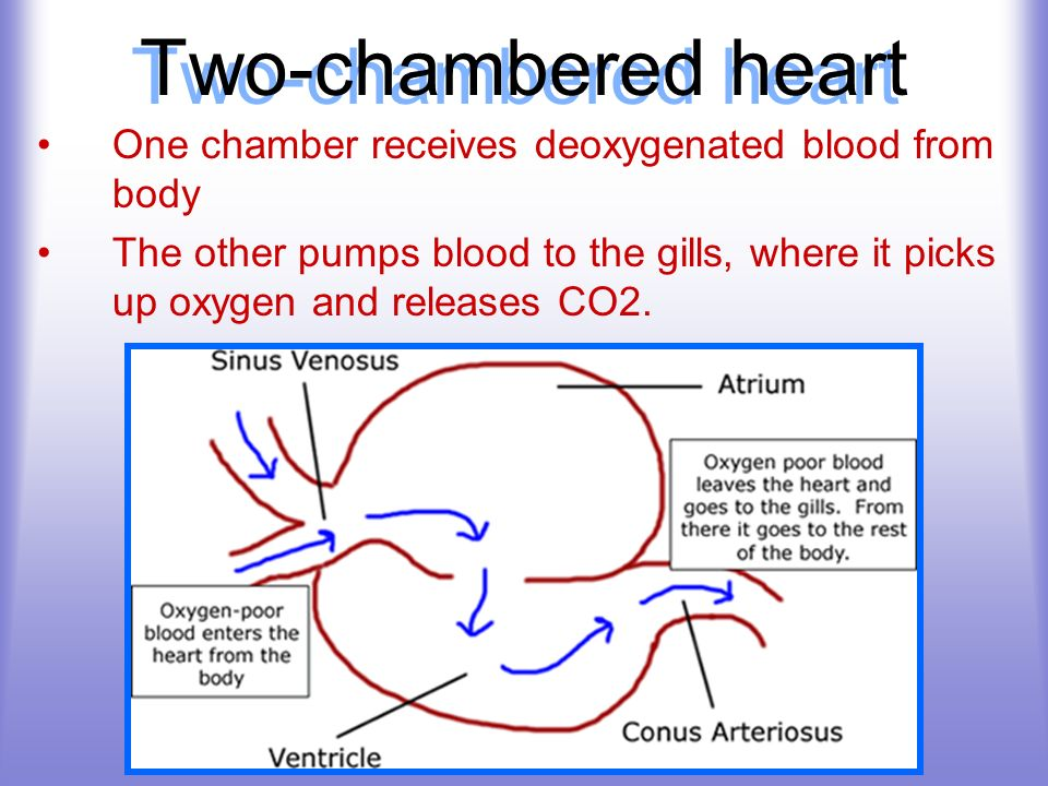 Two-chambered heart One chamber receives deoxygenated blood from body