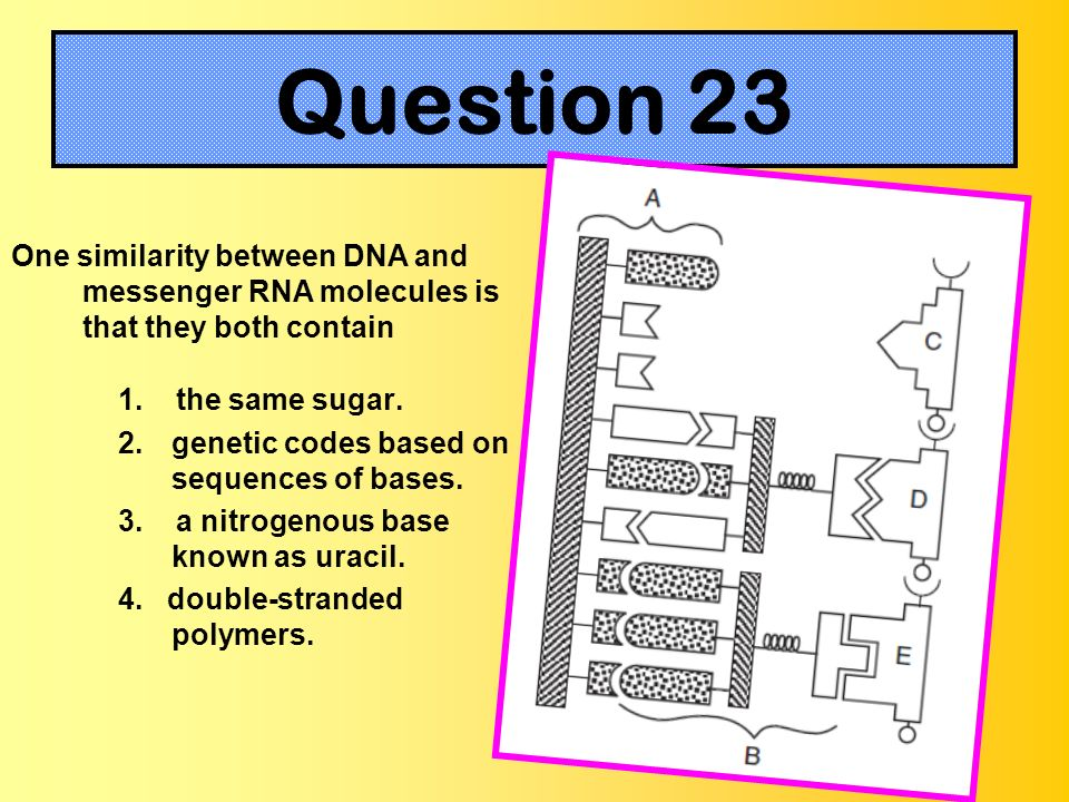 Question 23One similarity between DNA and messenger RNA molecules is that they both contain. 1. the same sugar.