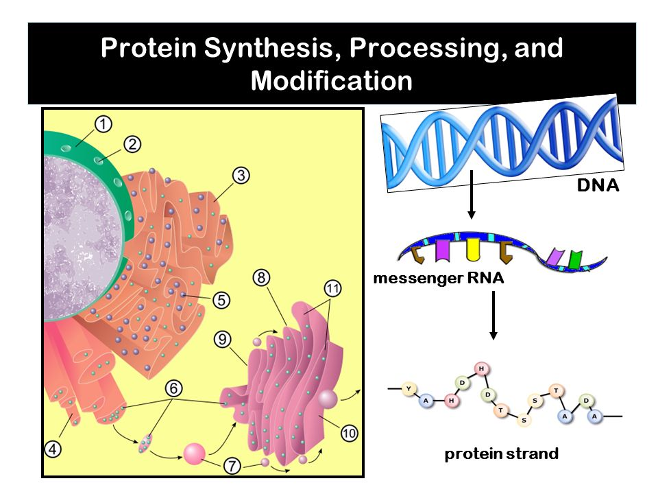 Protein Synthesis, Processing, and Modification