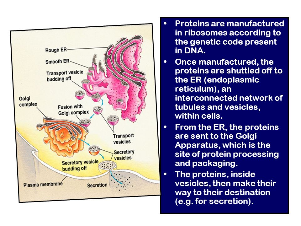 Proteins are manufactured in ribosomes according to the genetic code present in DNA.