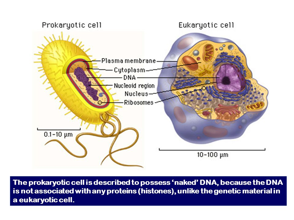 The prokaryotic cell is described to possess 'naked' DNA, because the DNA is not associated with any proteins (histones), unlike the genetic material in a eukaryotic cell.