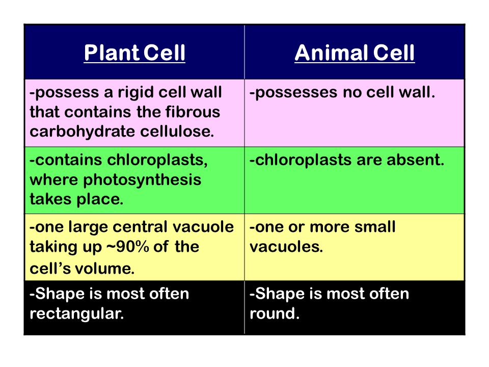 Plant Cell Animal Cell. -possess a rigid cell wall that contains the fibrous carbohydrate cellulose.