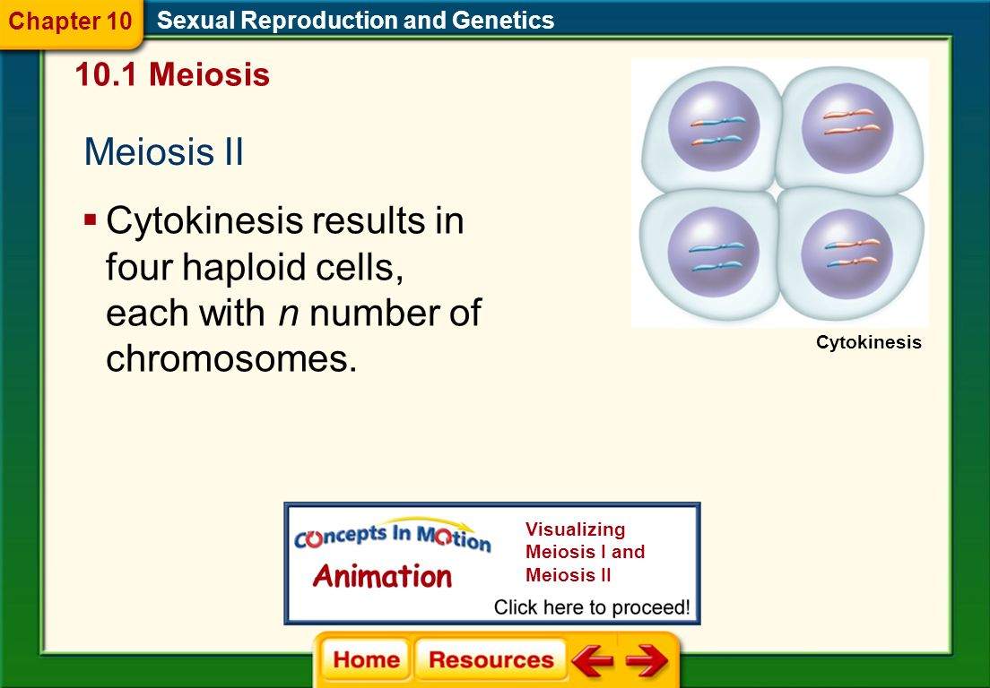Chapter 10 Sexual Reproduction and Genetics. 10.1 Meiosis. Meiosis II.