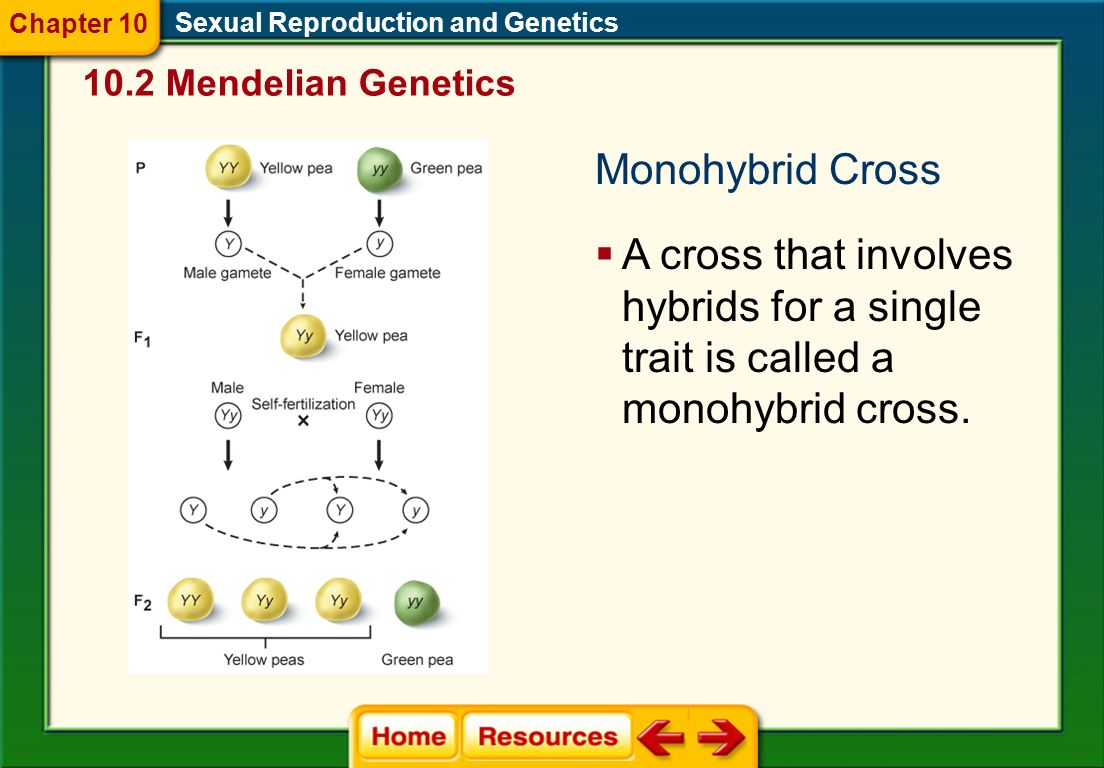 Chapter 10 Sexual Reproduction and Genetics Mendelian Genetics. Monohybrid Cross.