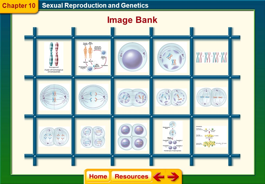 Chapter 10 Sexual Reproduction and Genetics Image Bank
