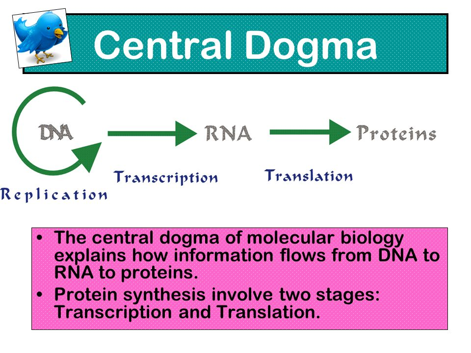Central Dogma The central dogma of molecular biology explains how information flows from DNA to RNA to proteins.