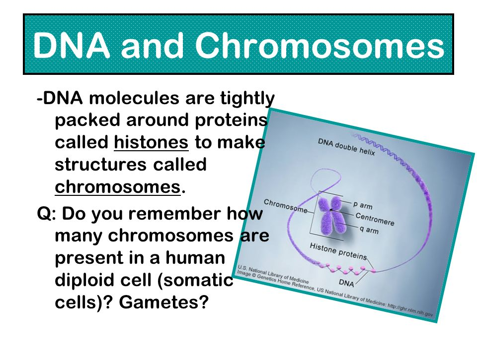 DNA and Chromosomes -DNA molecules are tightly packed around proteins called histones to make structures called chromosomes.