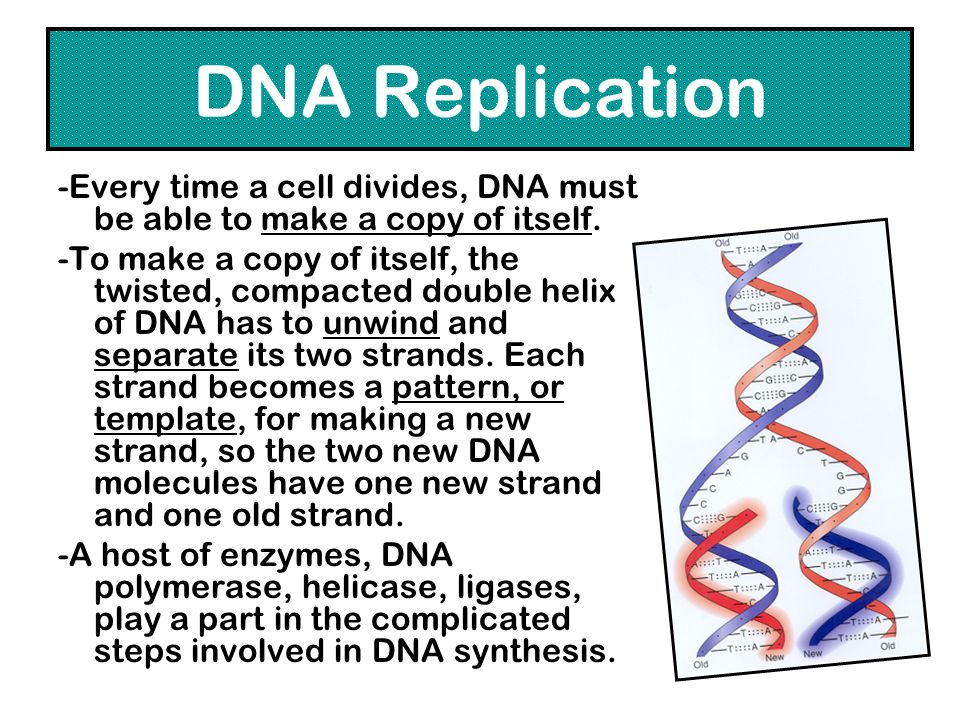 DNA Replication -Every time a cell divides, DNA must be able to make a copy of itself.