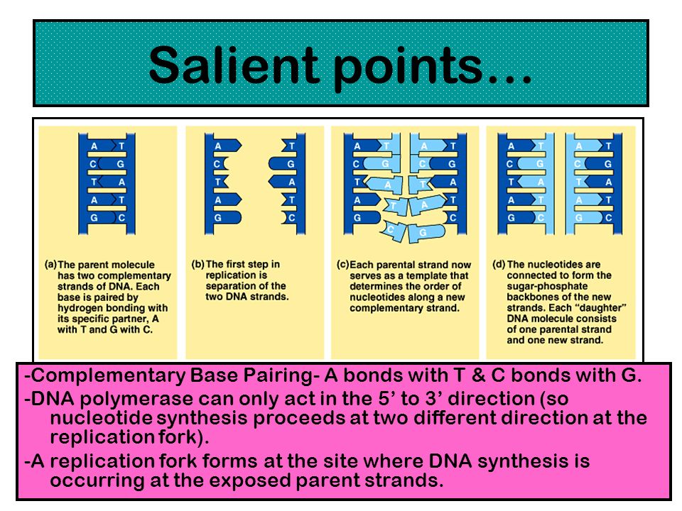Salient points… -Complementary Base Pairing- A bonds with T & C bonds with G.