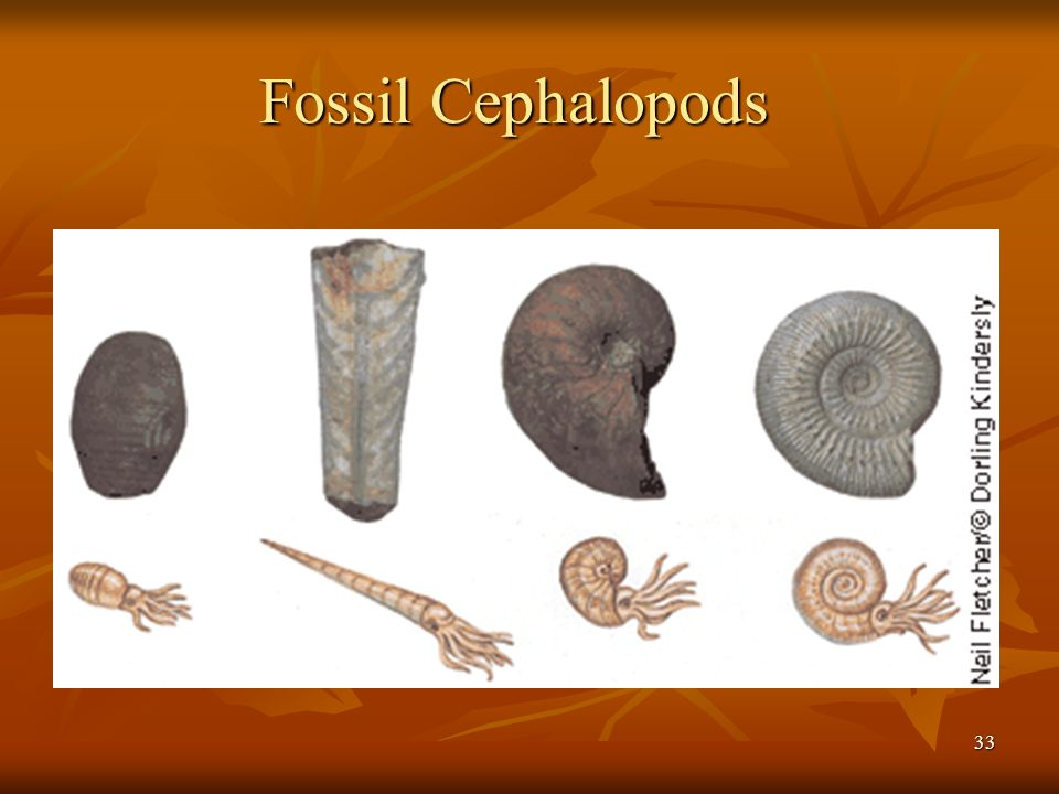 Fossil Cephalopods