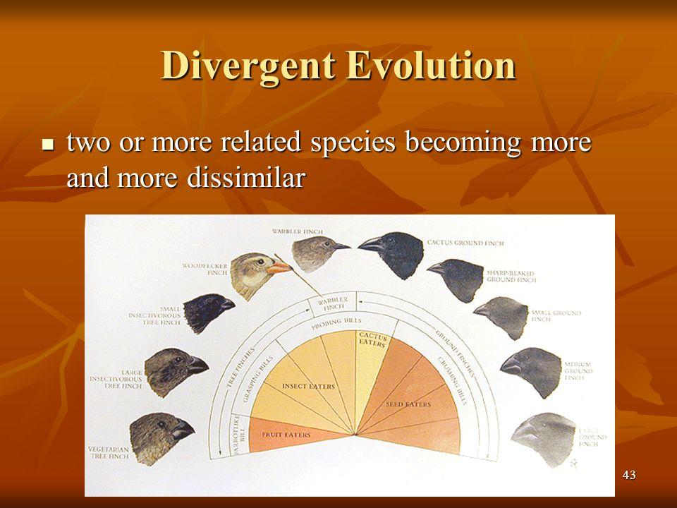 Divergent Evolution two or more related species becoming more and more dissimilar