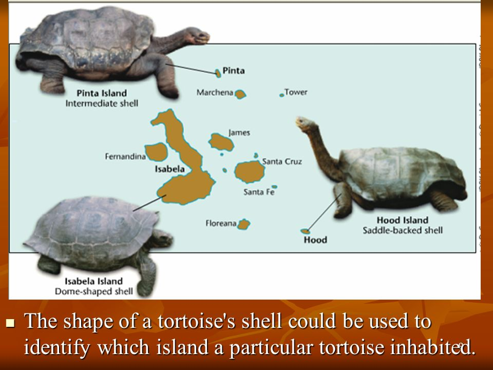 The shape of a tortoise s shell could be used to identify which island a particular tortoise inhabited.