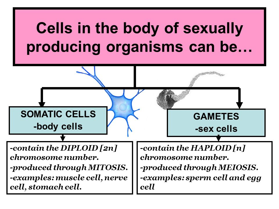 Cells in the body of sexually producing organisms can be…