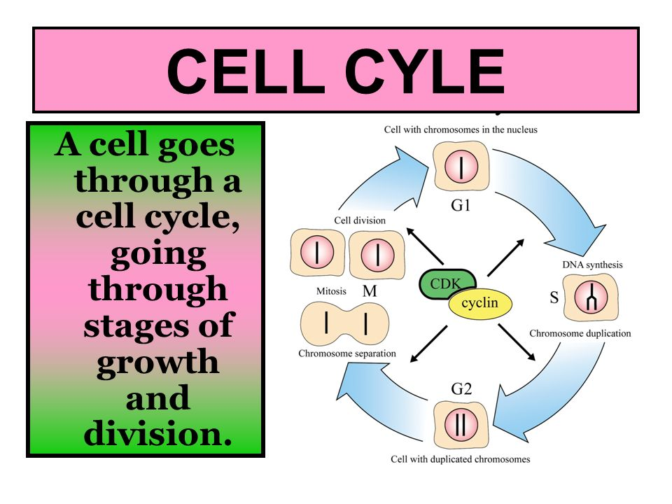CELL CYLE A cell goes through a cell cycle, going through stages of growth and division.
