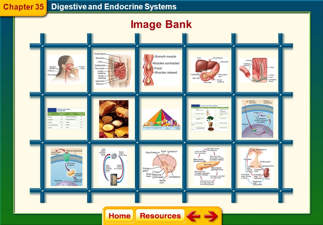 Chapter 35 Digestive and Endocrine Systems Image Bank