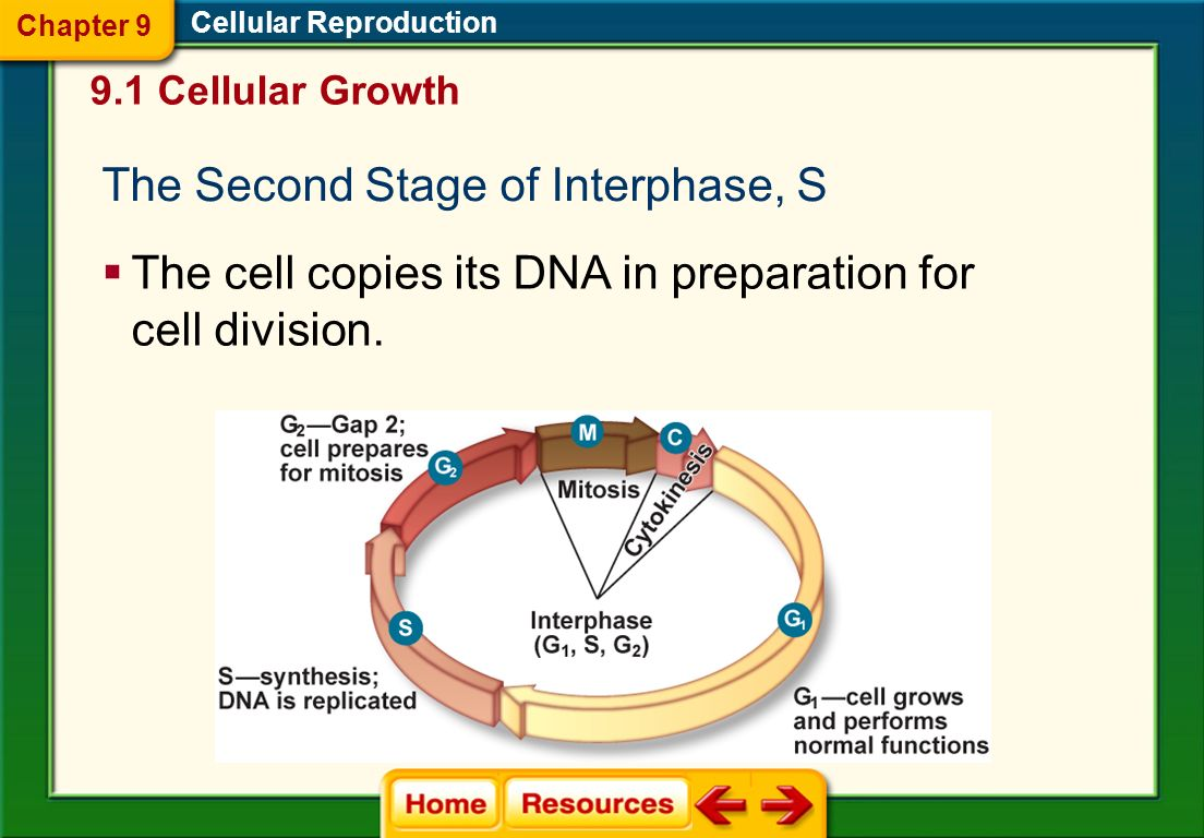 The Second Stage of Interphase, S
