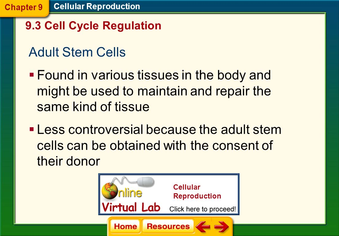 Chapter 9 Cellular Reproduction. 9.3 Cell Cycle Regulation. Adult Stem Cells.