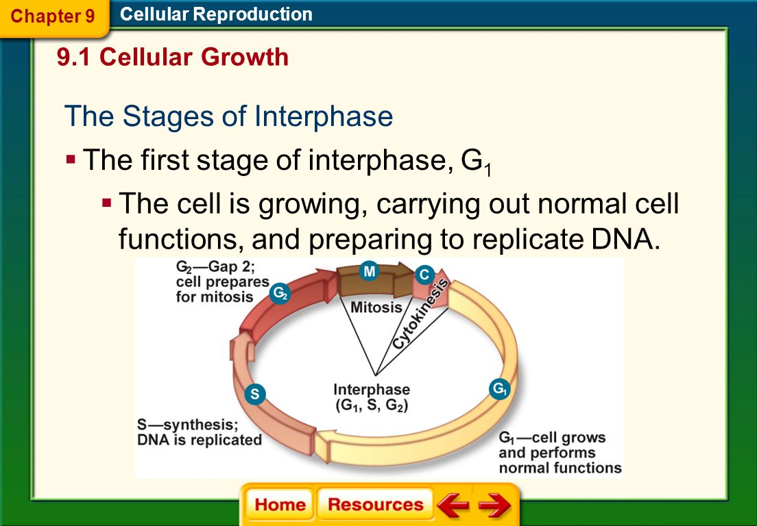 The Stages of Interphase
