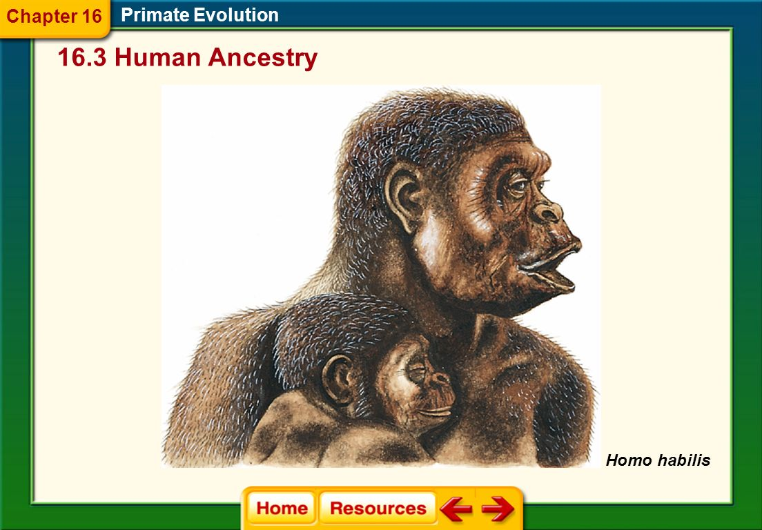 Chapter 16 Primate Evolution 16.3 Human Ancestry Homo habilis