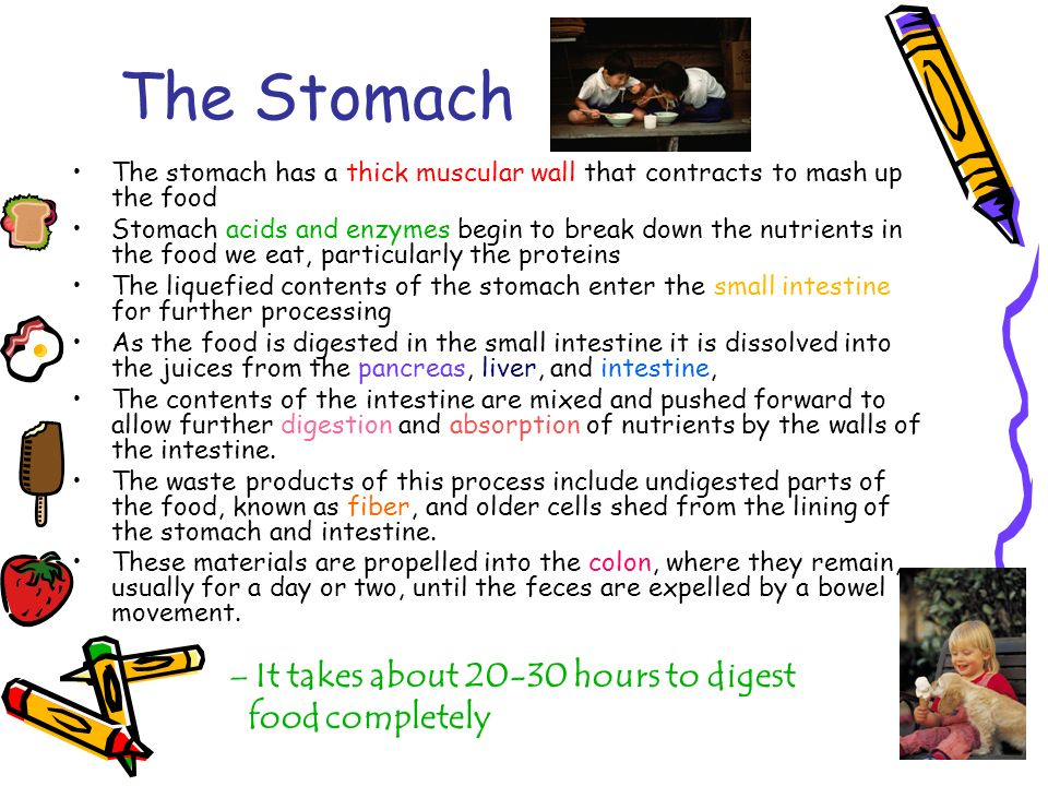 The Stomach It takes about 20-30 hours to digest food completely