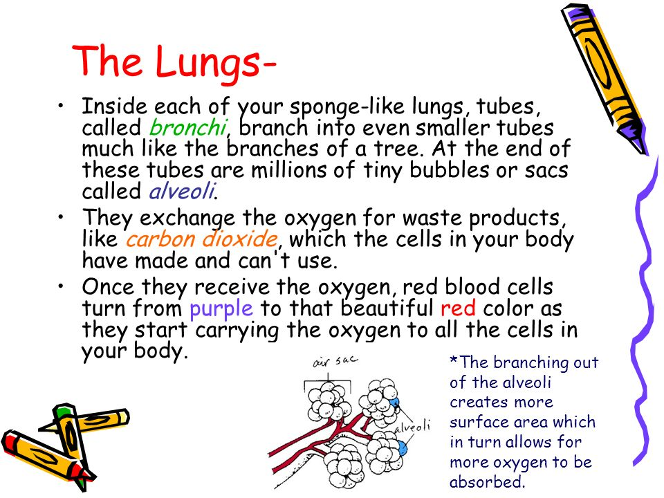 The Lungs-