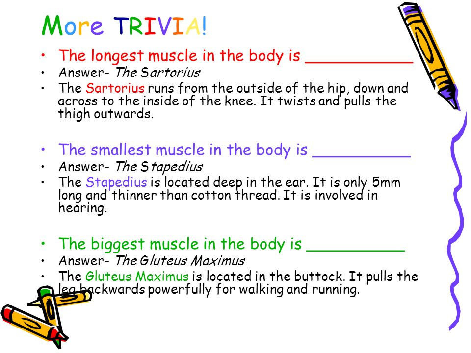 More TRIVIA! The longest muscle in the body is ___________