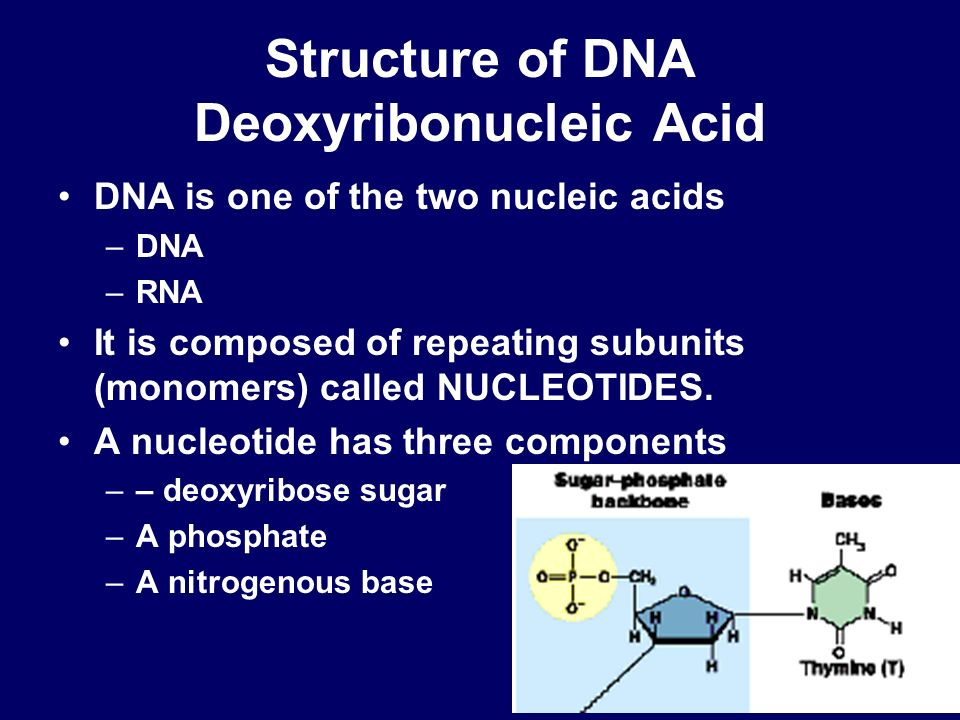 Structure of DNA Deoxyribonucleic Acid