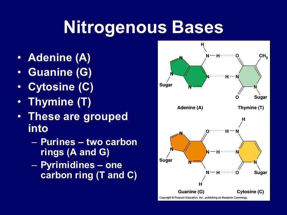 Nitrogenous Bases Adenine (A) Guanine (G) Cytosine (C) Thymine (T)