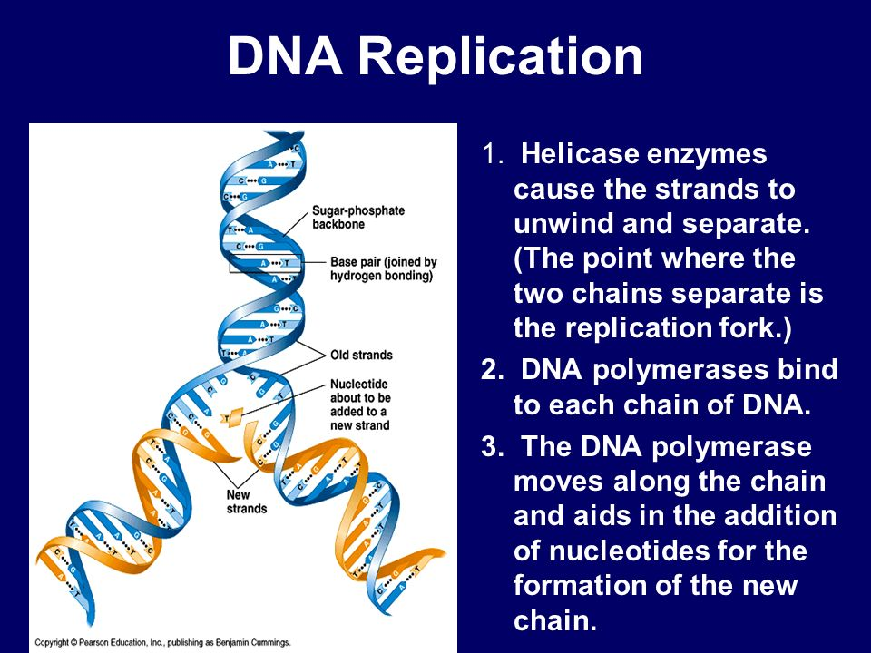 DNA Replication 1. Helicase enzymes cause the strands to unwind and separate. (The point where the two chains separate is the replication fork.)